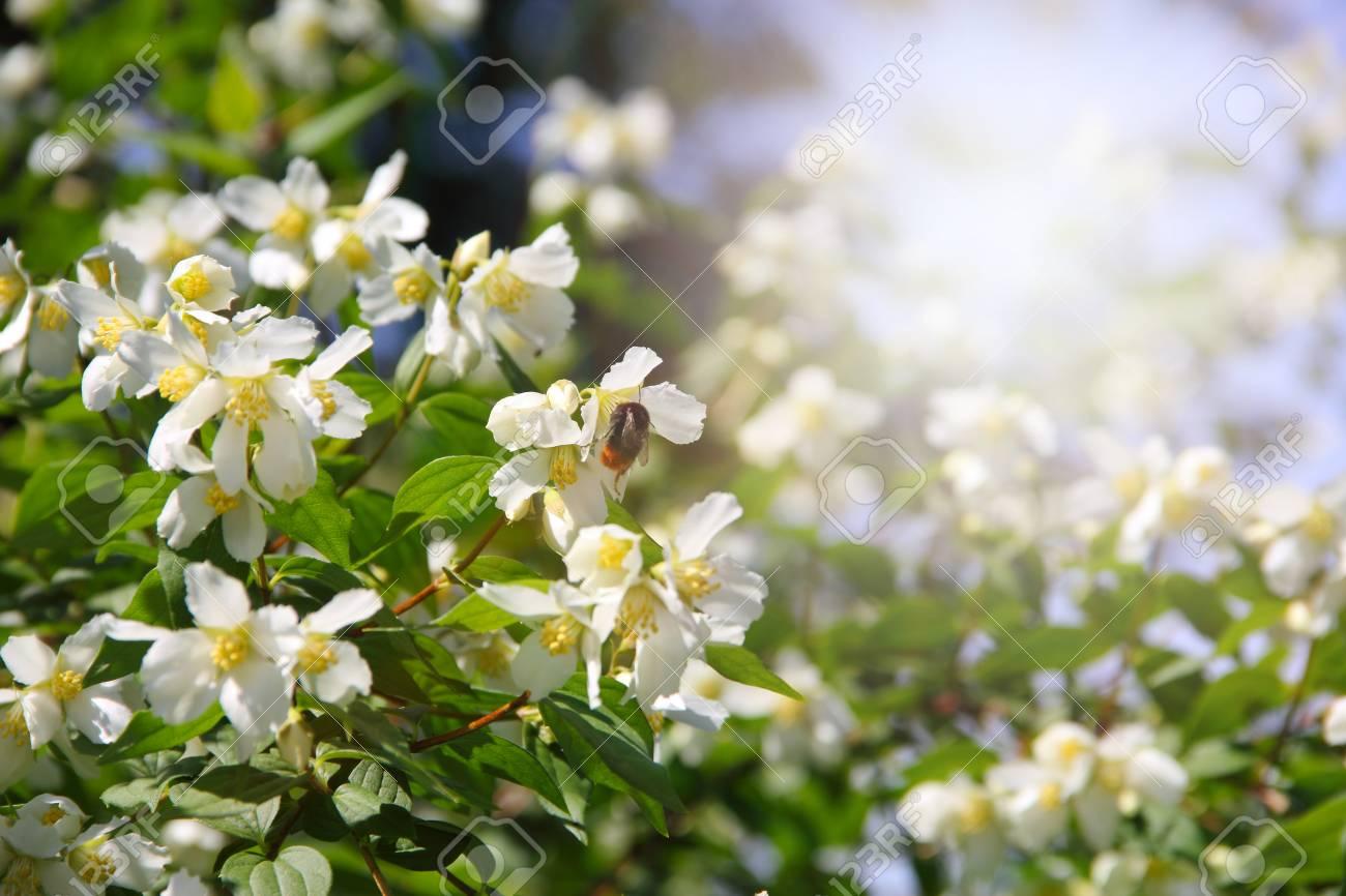 Bush With Jasmine Flowers In Bloom Beautiful Background Stock Photo
