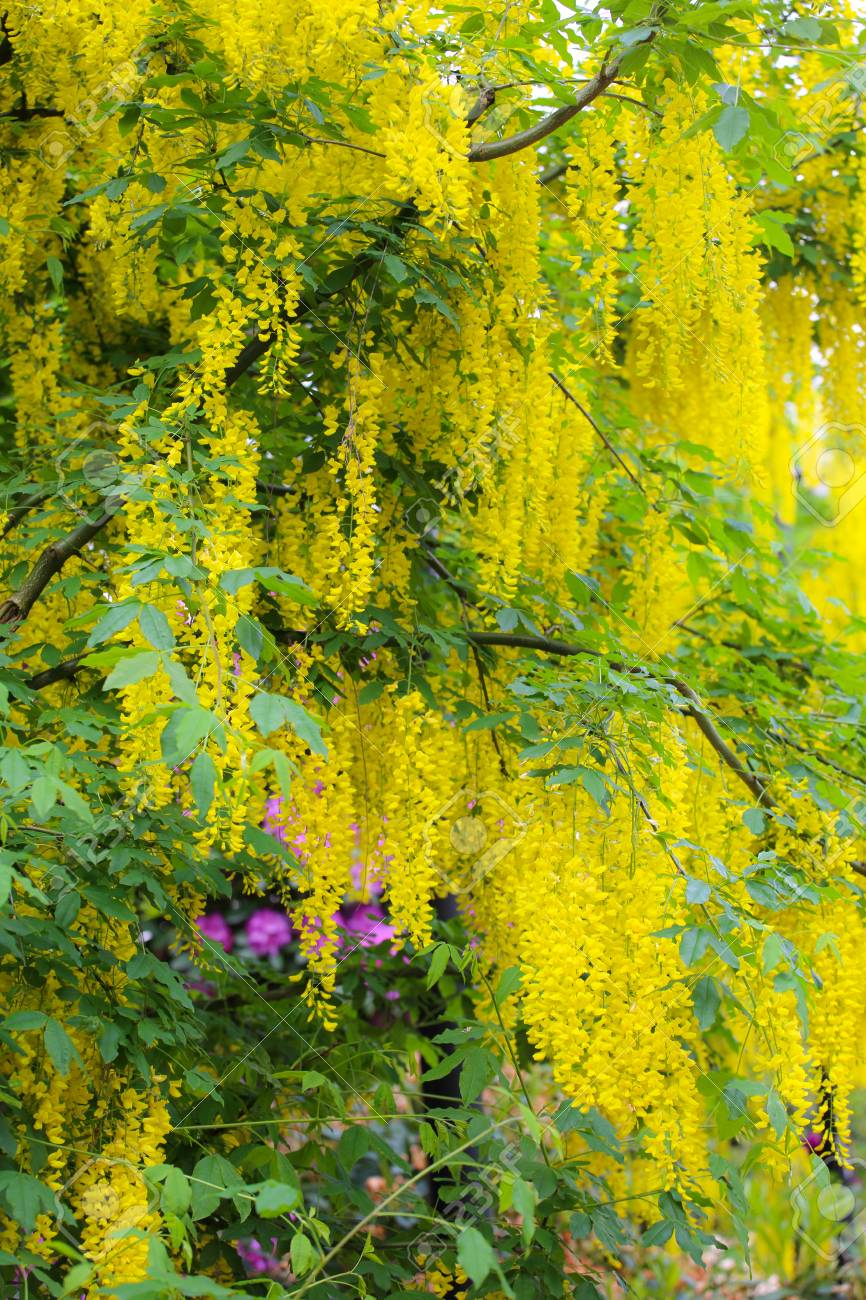 Beautiful Background Of Yellow Flowers Of Blooming Acacia Tree Stock