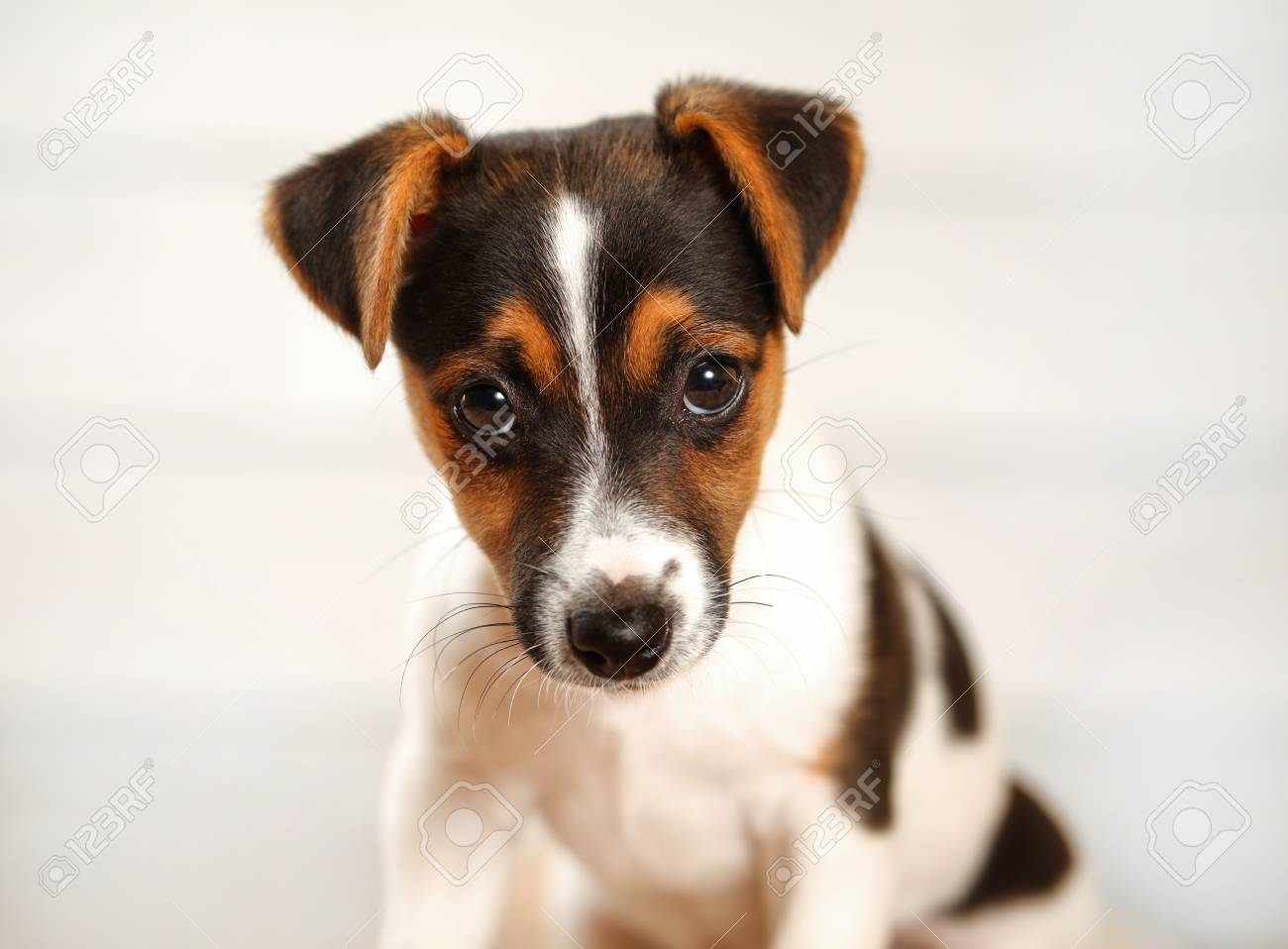 2 months old Jack Russell terrier puppy looking into camera