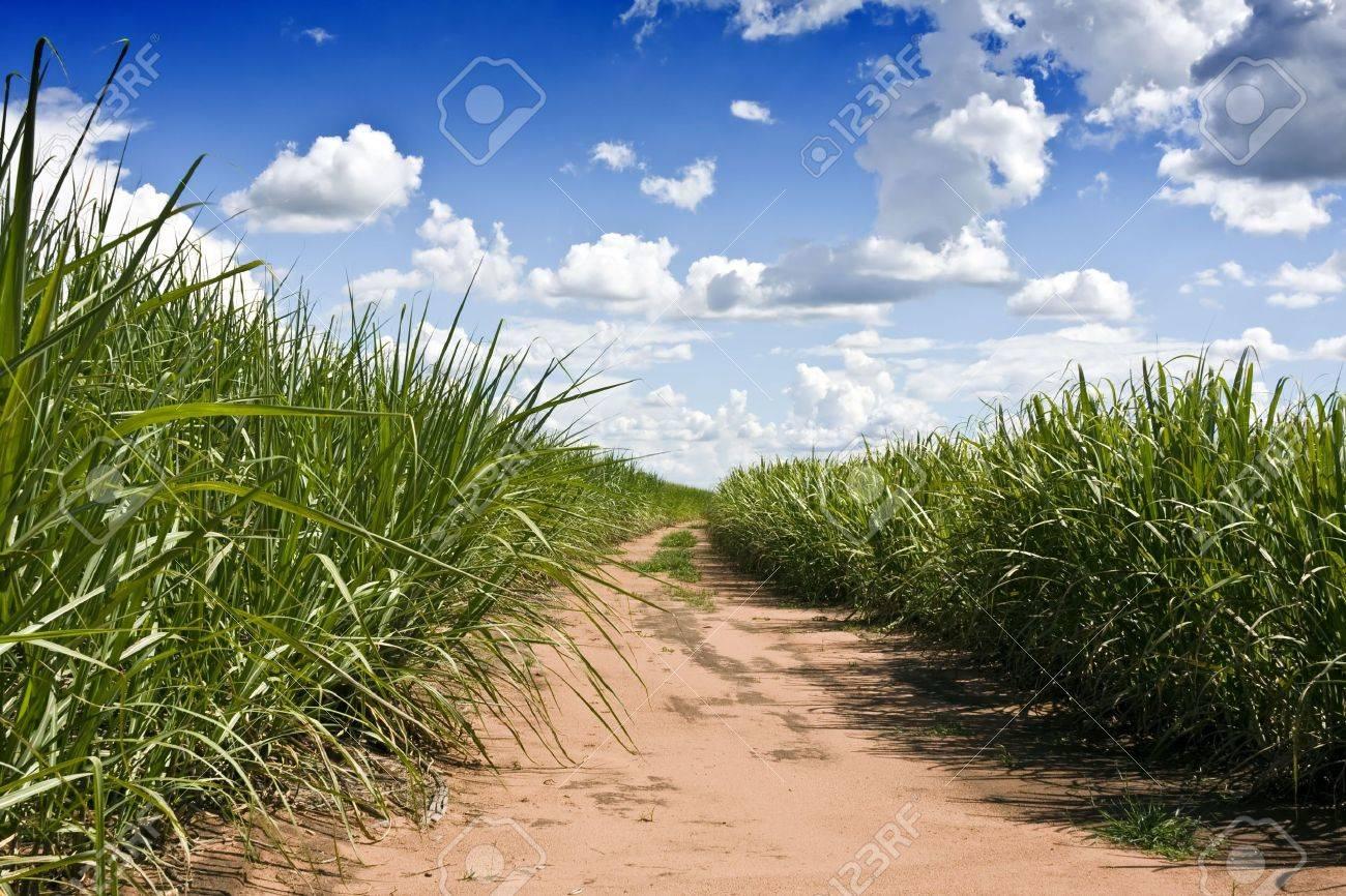 Plantation of sugarcane in Brazil Stock Photo - 5163650
