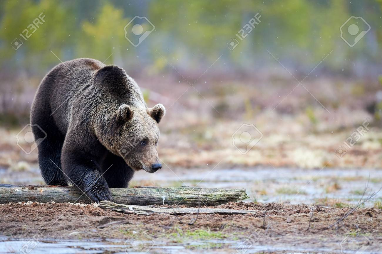 wild brown bear walking in the taiga and looking for food in stock