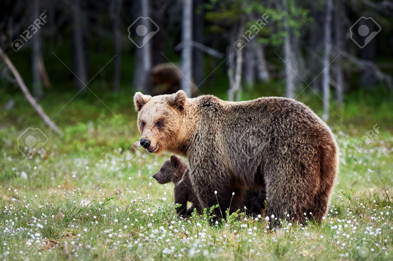 Brown bear (Ursus arctos) cub and her mom close. - 165288144