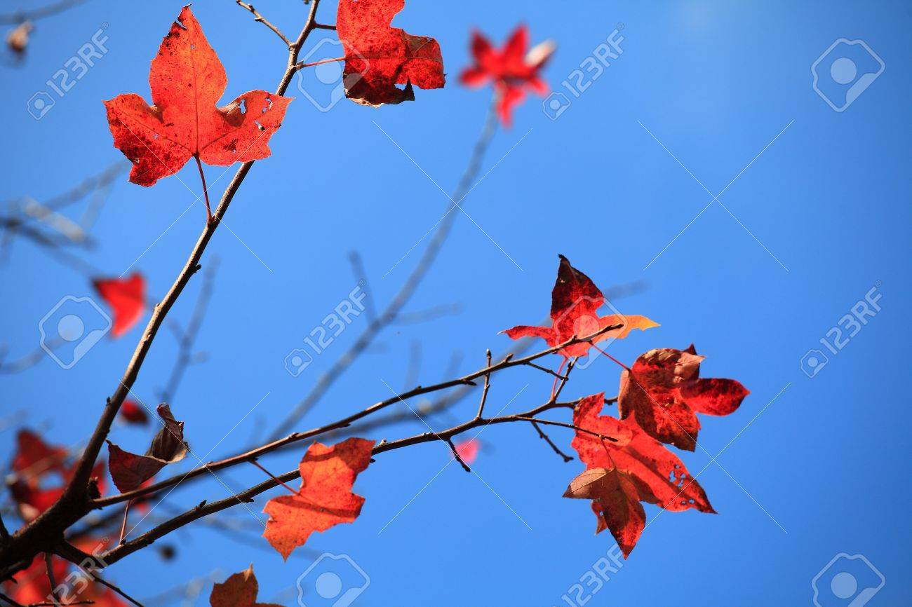 Maple Leaf Stock Photo - 17354295