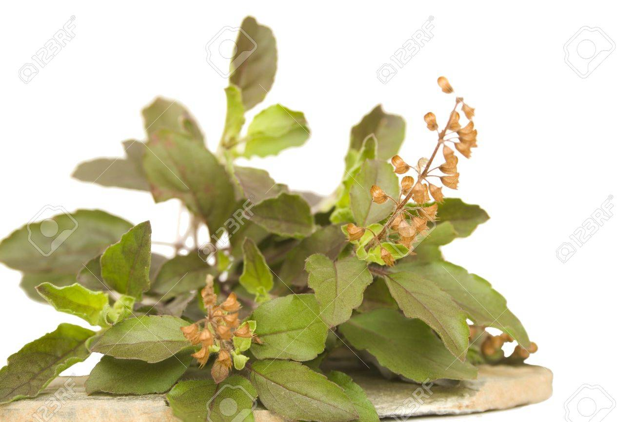 Bunch of holy basil thulsi herb with seeds on stone plate isolated Stock Photo - 6530707