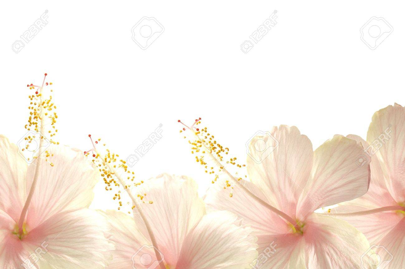 Sunlight Pink Hibiscus Flower Border Textured Background Stock Photo