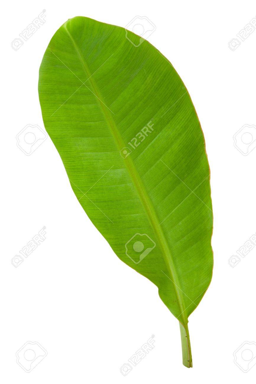 Fresh Green Banana Leaf Isolated with Clipping Path 3 Stock Photo - 8416987