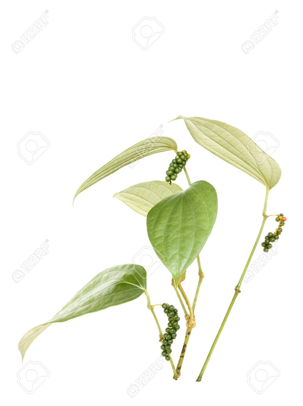 Peppercorn Vine Isolated Stock Photo - 8680680