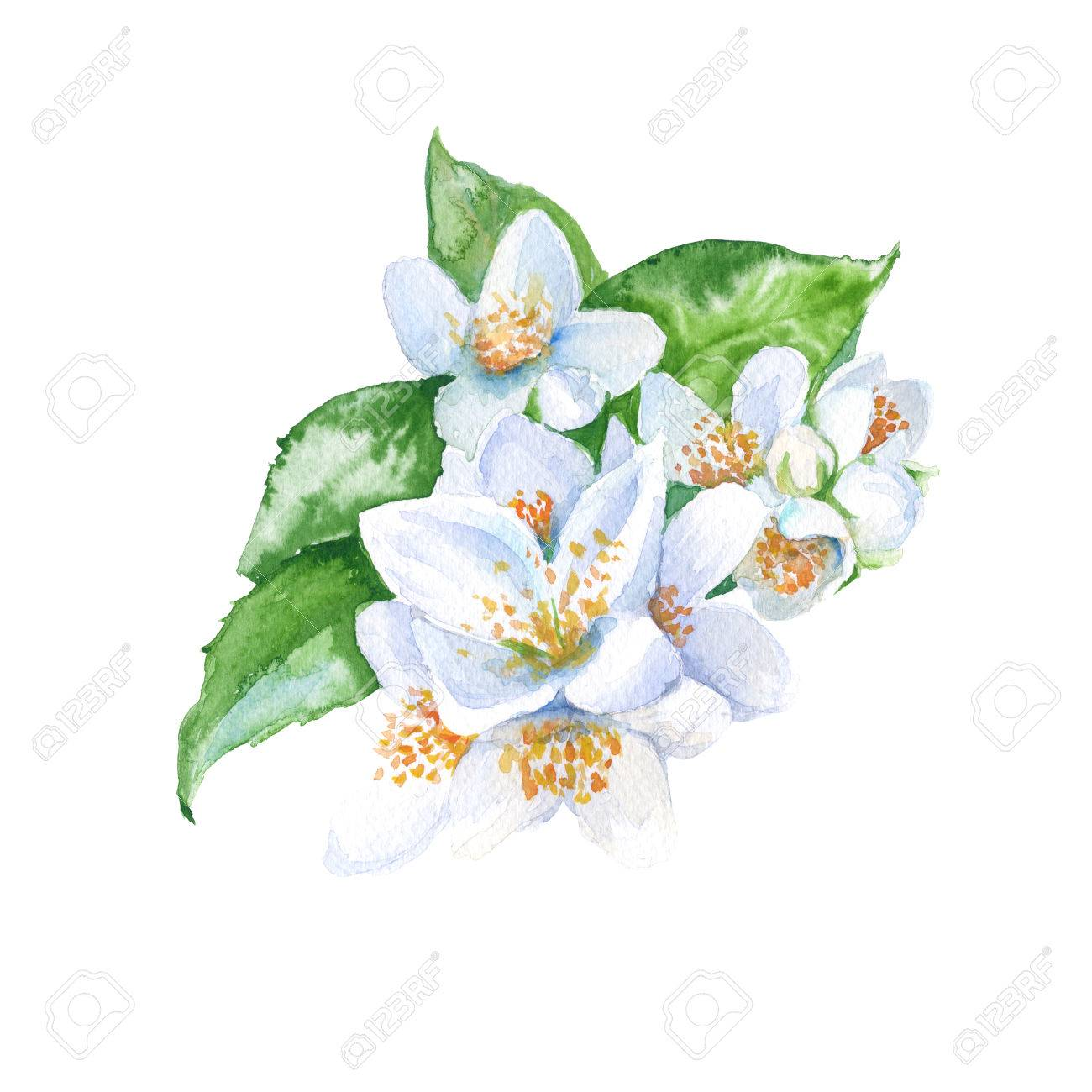 Jasmine flowers branch with leaves isolated watercolor jasmine flowers branch with leaves isolated watercolor illustration stock illustration 60372103 izmirmasajfo Gallery