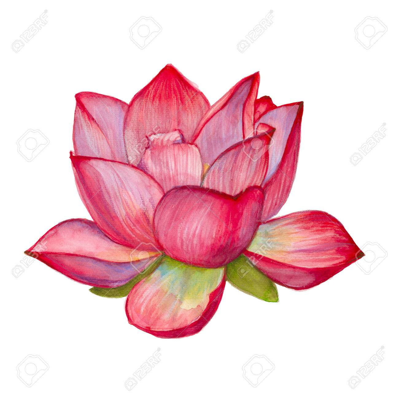 Pink Lotus Flower Isolated On White Background Watercolor