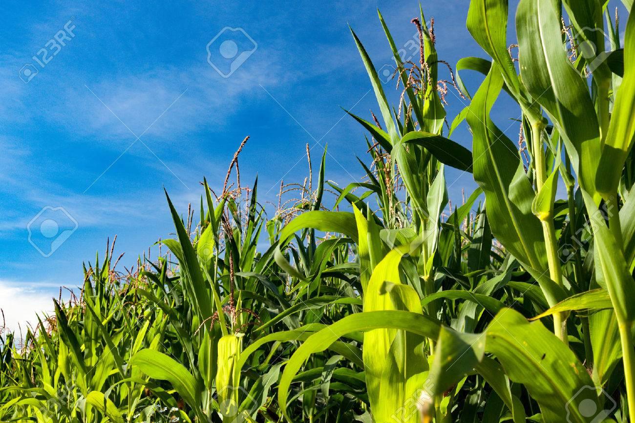 Cornfield and blue sky - 54639322