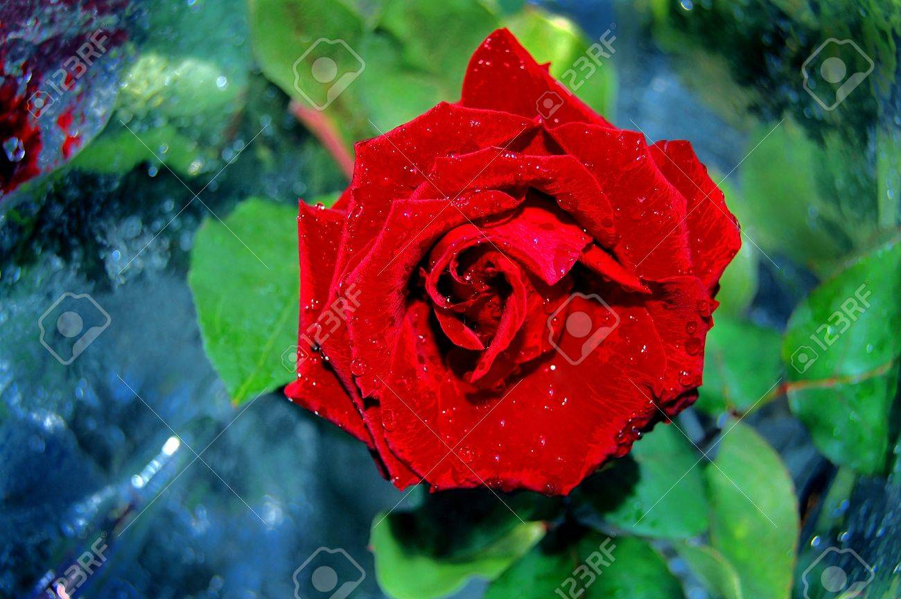 The one red Rose,woter drops,green leaves Stock Photo - 13119500
