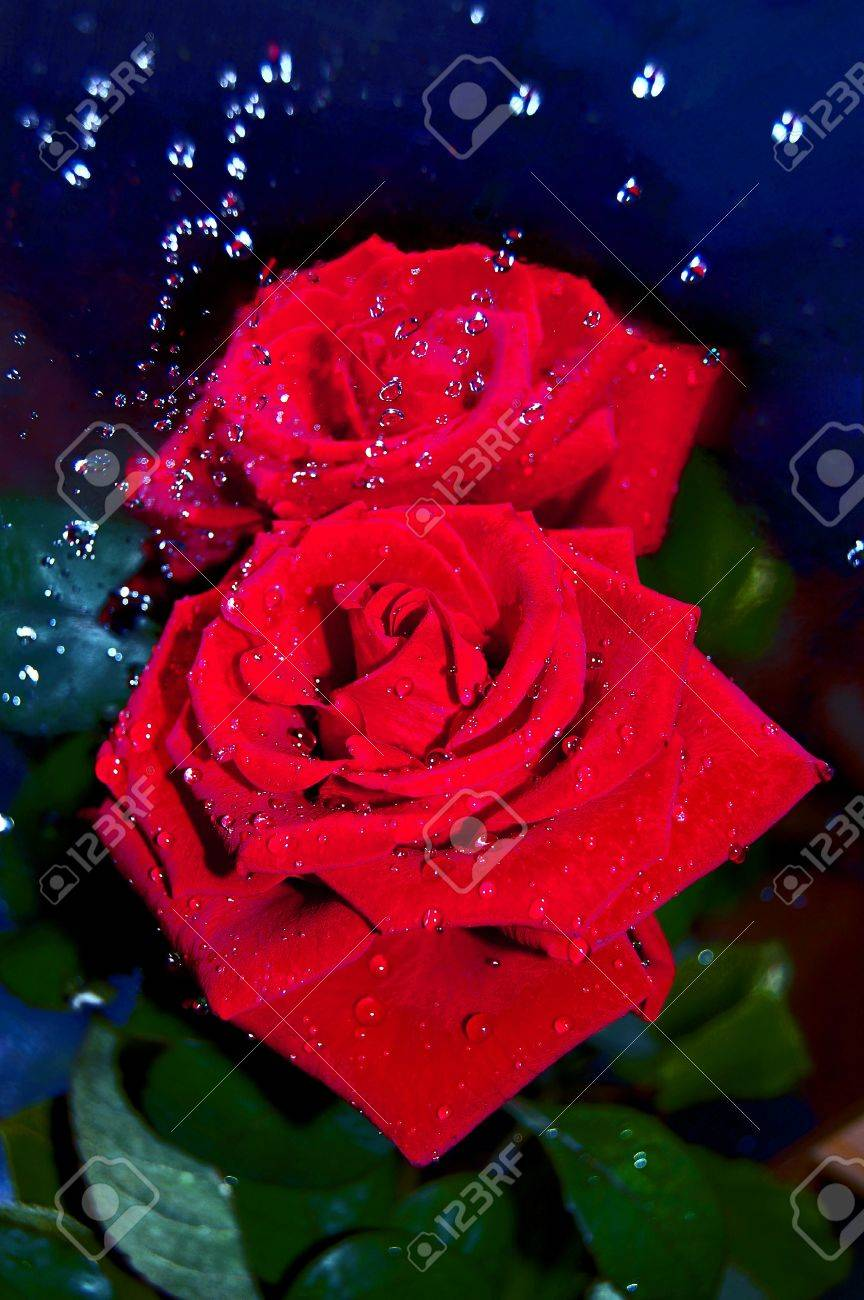 A beautiful red rose in drops of water,reflection Stock Photo - 13362597