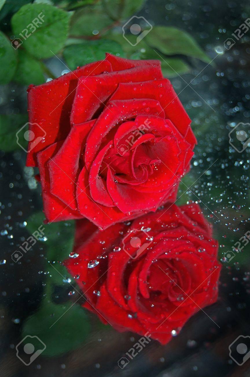 Una Rosa Roja Una Reflexión Una Gotas De Agua Fotos Retratos