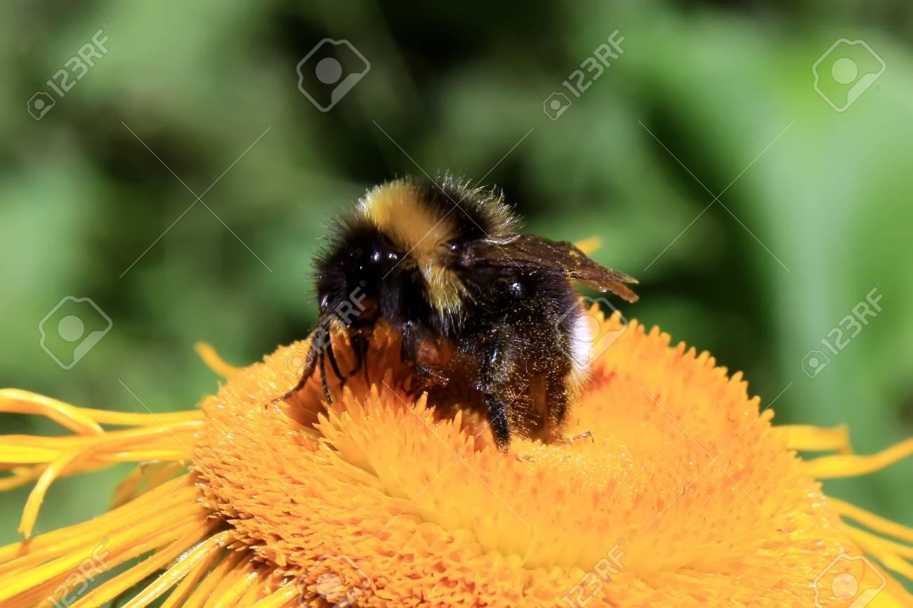 Macro scene with bee on a yellow flower Stock Photo - 16177905