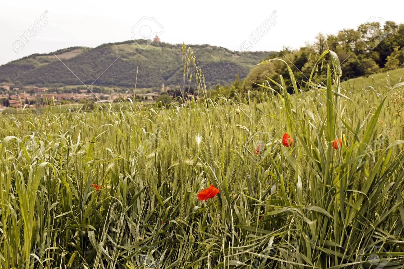 Poppy flowers growing in a summer meadow from Italy Stock Photo - 17580245