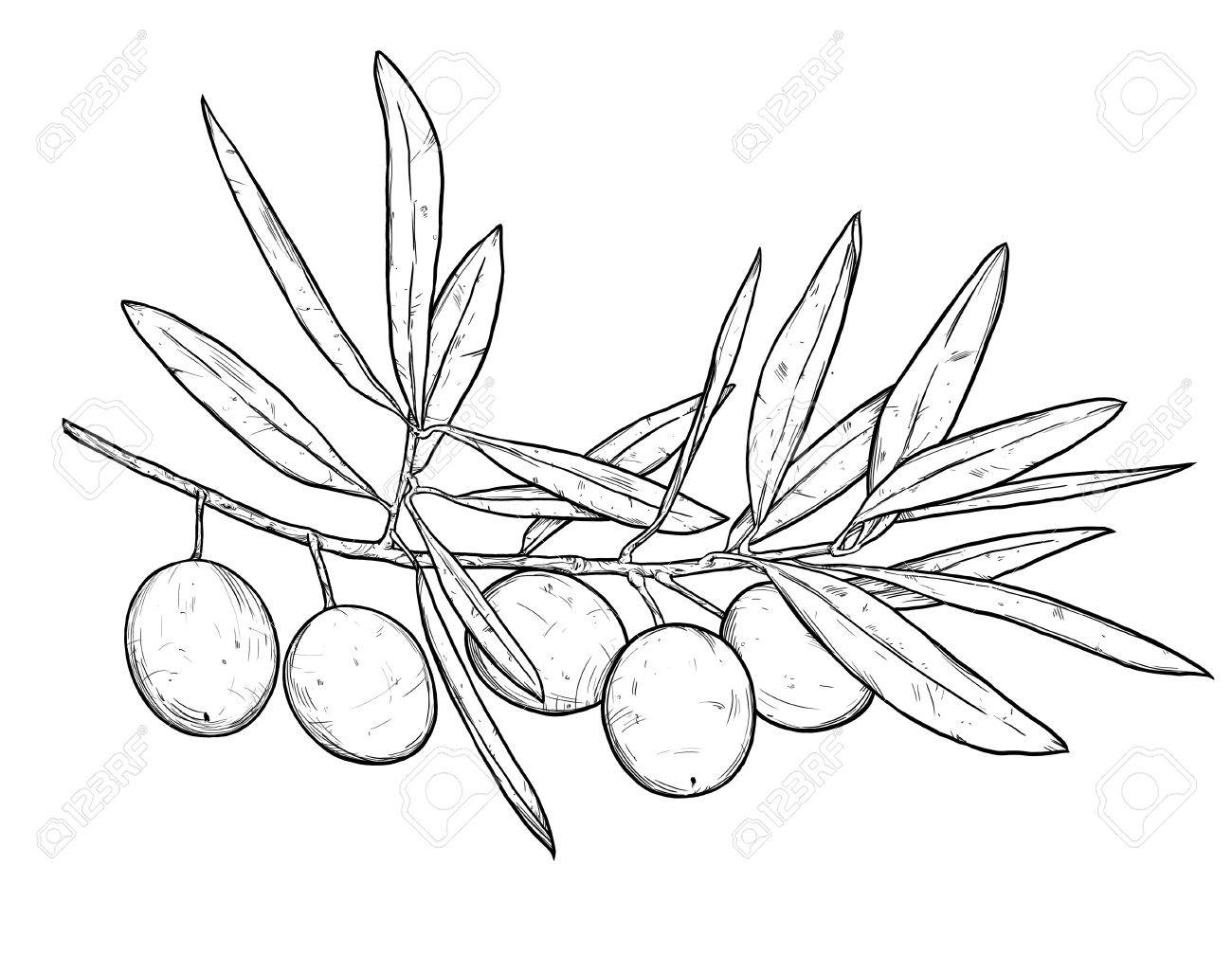 Line Art Illustration Of Olive Branch Stock Photo Picture And
