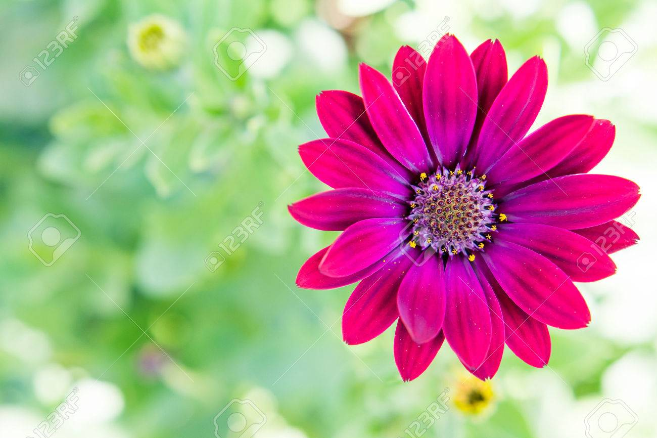 Purple daisy with green background. Space for text - 45838258