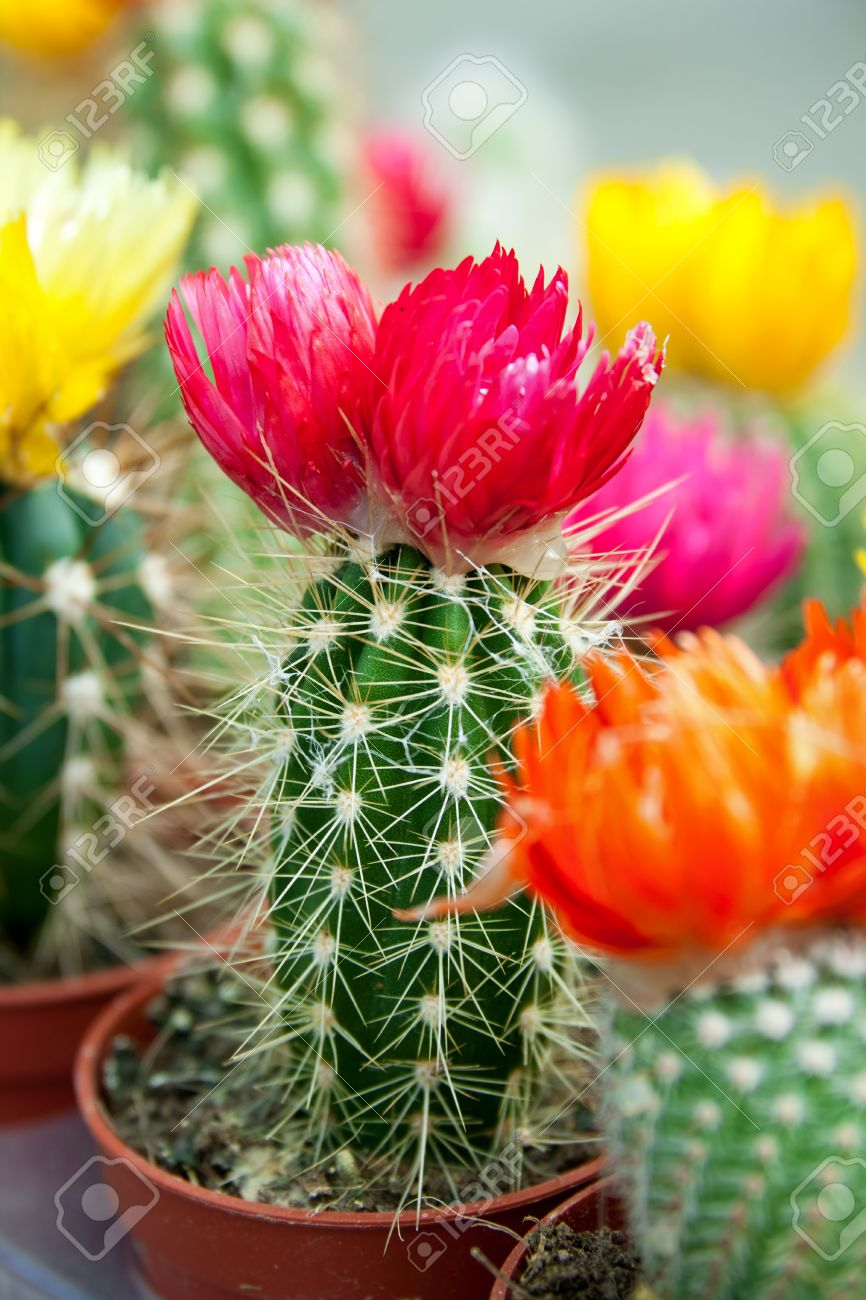 blooming cactus with colorful flowers stock photo picture and