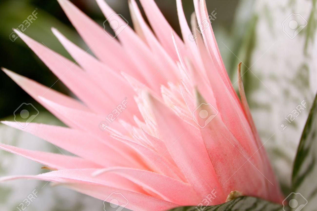 floraison de cactus avec une fleur rose au point banque d'images