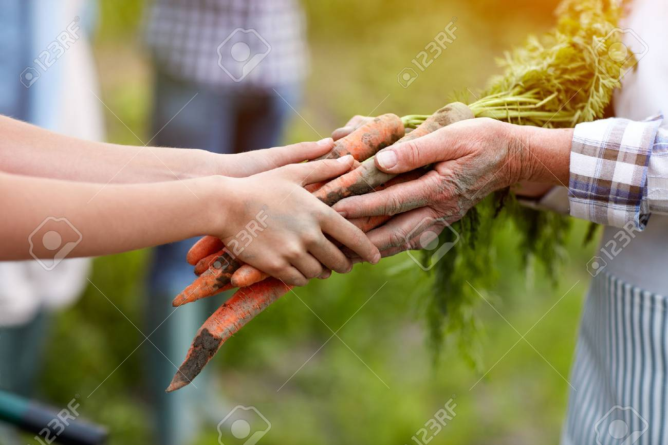 Close up of old and young hands holding carrots from garden - 62461119