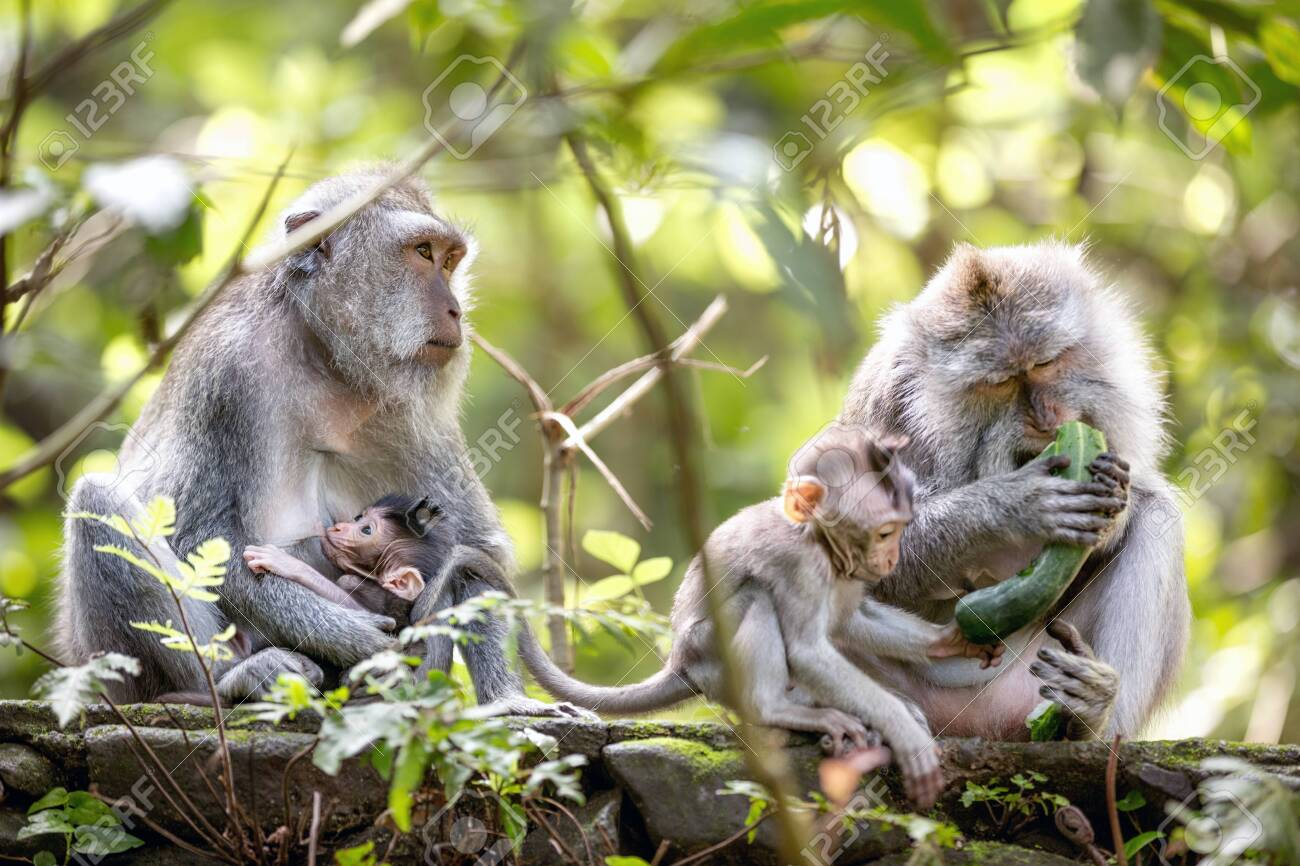 Monkey family in Sacred monkey forest, Bali, Indonesia. - 126738025