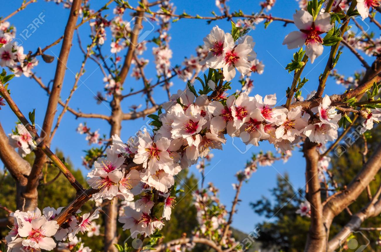Branches Of Almond Tree In Full Bloom With Many Nice Pink Flowers