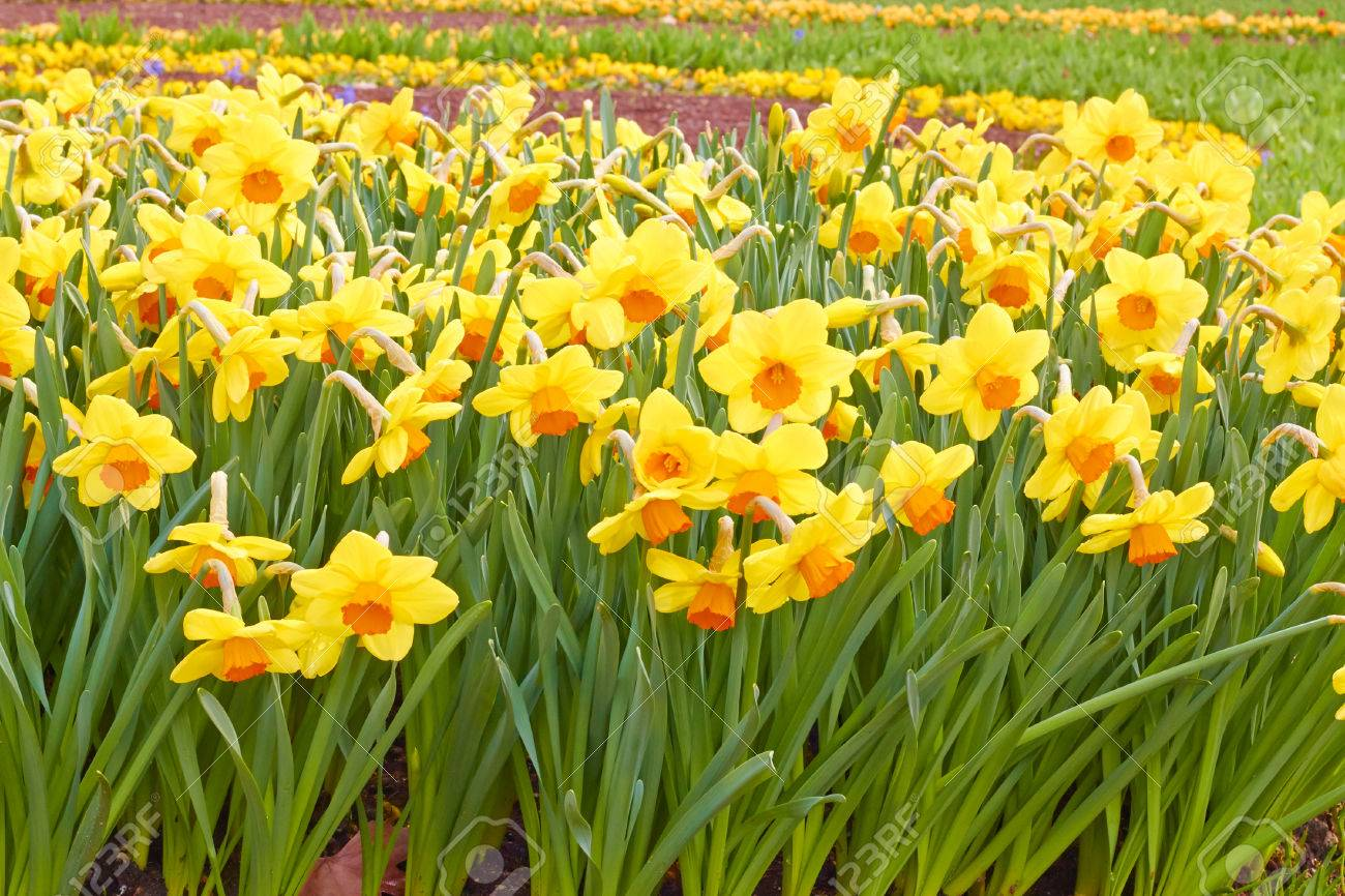 Flowers Yellow Spring Daffodils Stock Photo Picture And Royalty