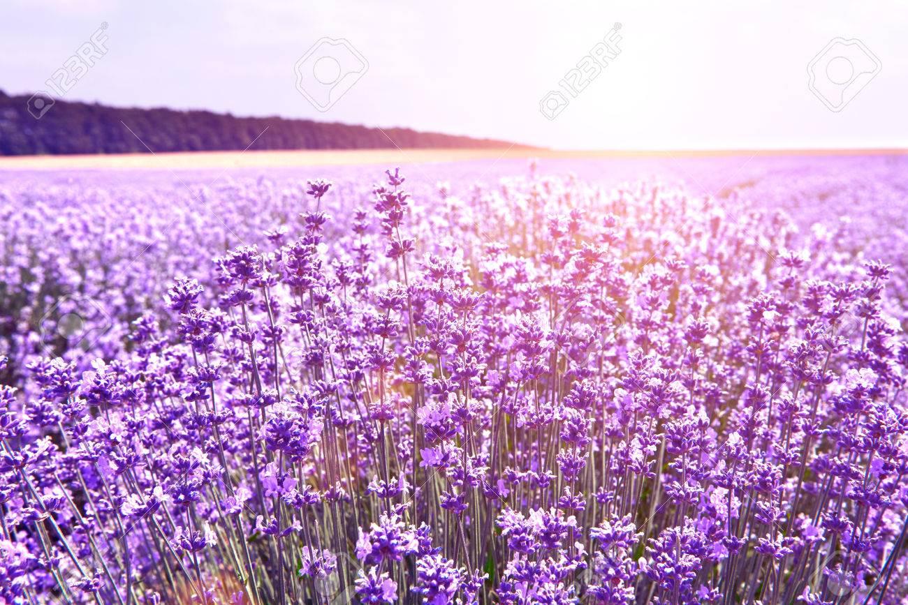 Lavender In Nature Lavender