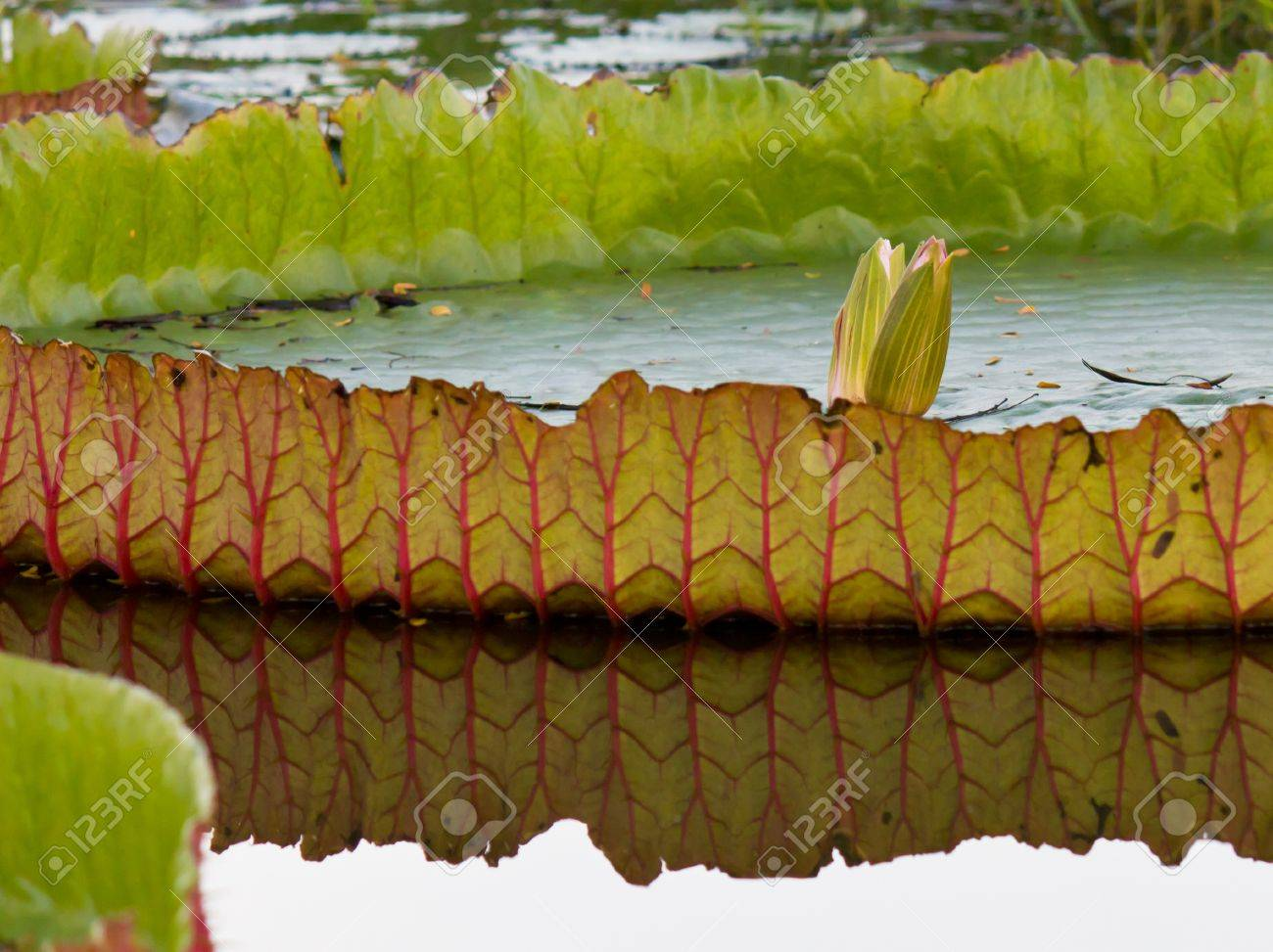 Big lotus leaf with two lotus flower stock photo picture and big lotus leaf with two lotus flower stock photo 10099437 mightylinksfo Image collections