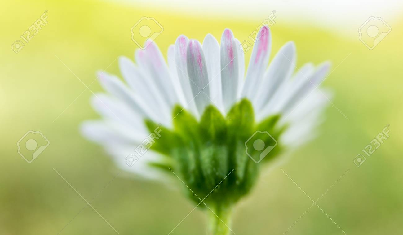 Close up photo of the petals of a daisy flower taken from behind close up photo of the petals of a daisy flower taken from behind the izmirmasajfo
