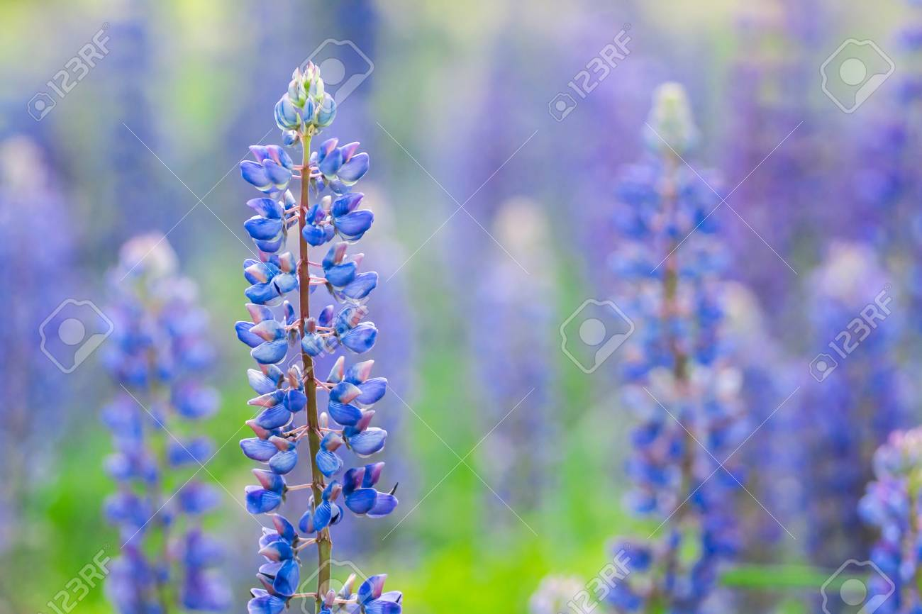 Blooming Lupine Flowers A Field Of Lupines Sunlight Shines Stock