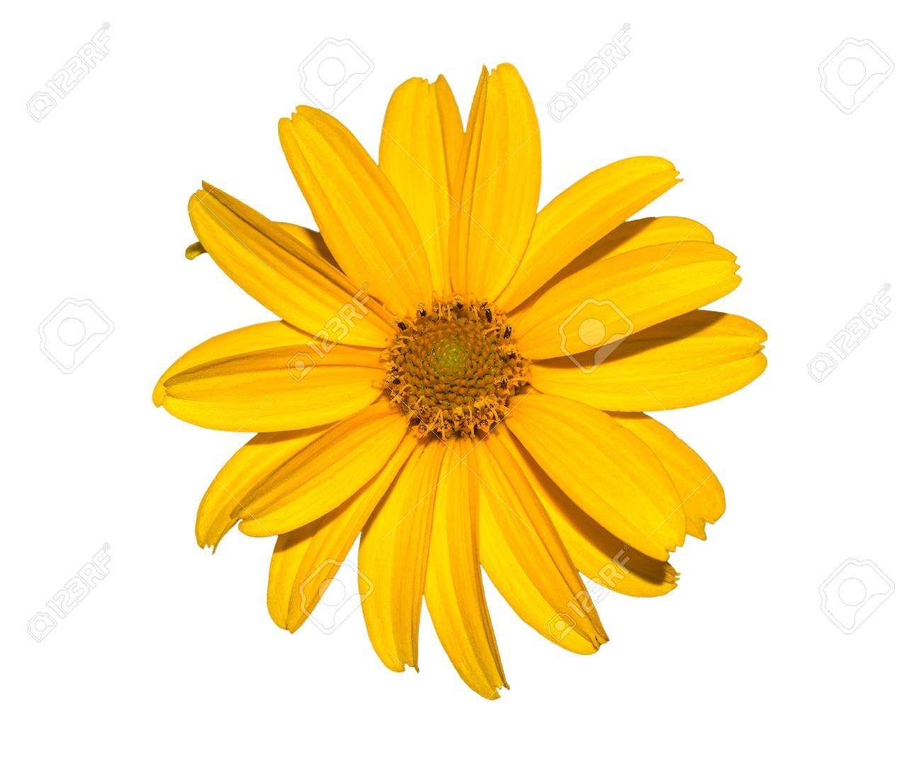 Yellow Flower Isolated On White Calendula Flower Stock Photo