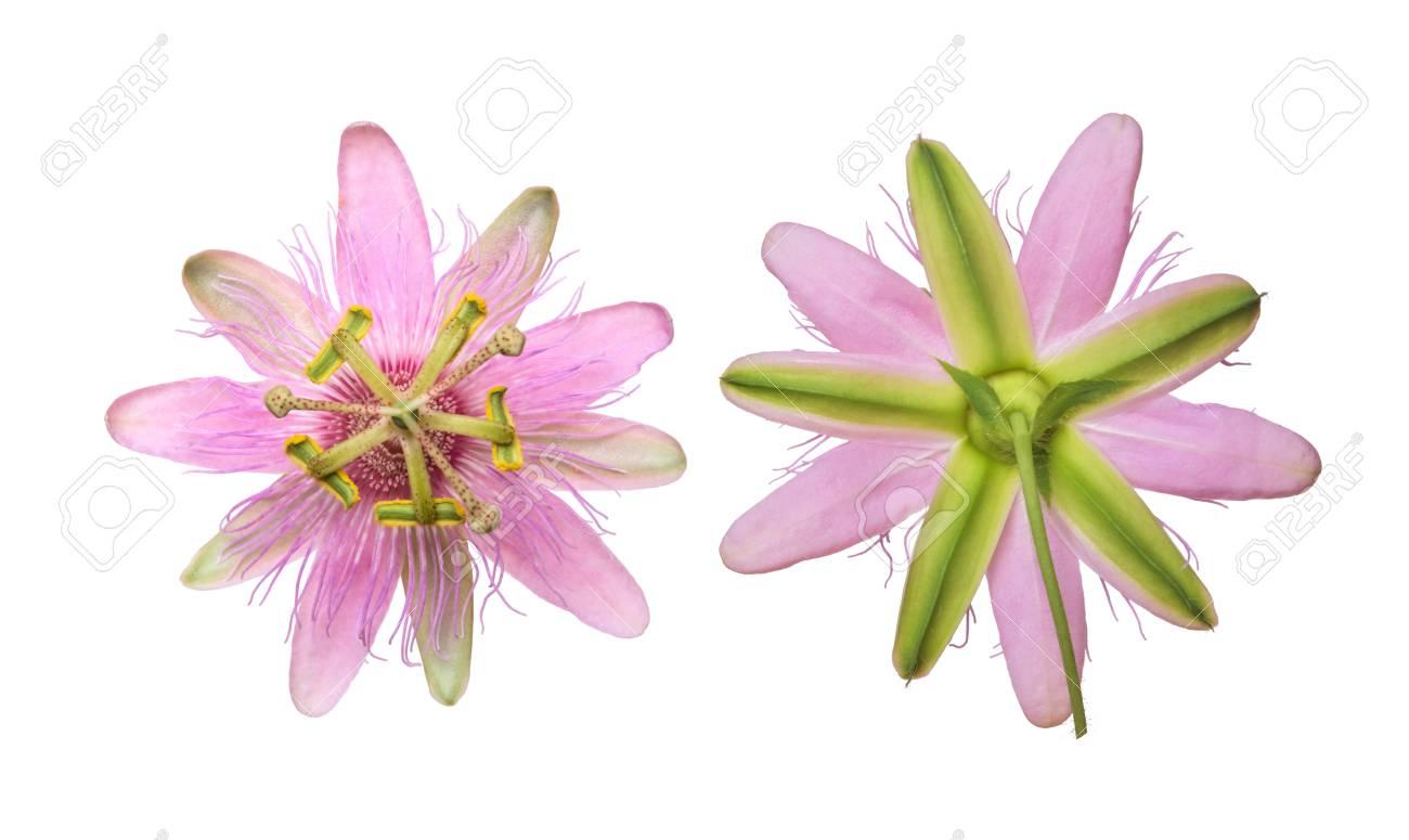 Pink passiflora passionflower nephrodes isolated on white background pink passiflora passionflower nephrodes isolated on white background big beautiful flower stock photo mightylinksfo