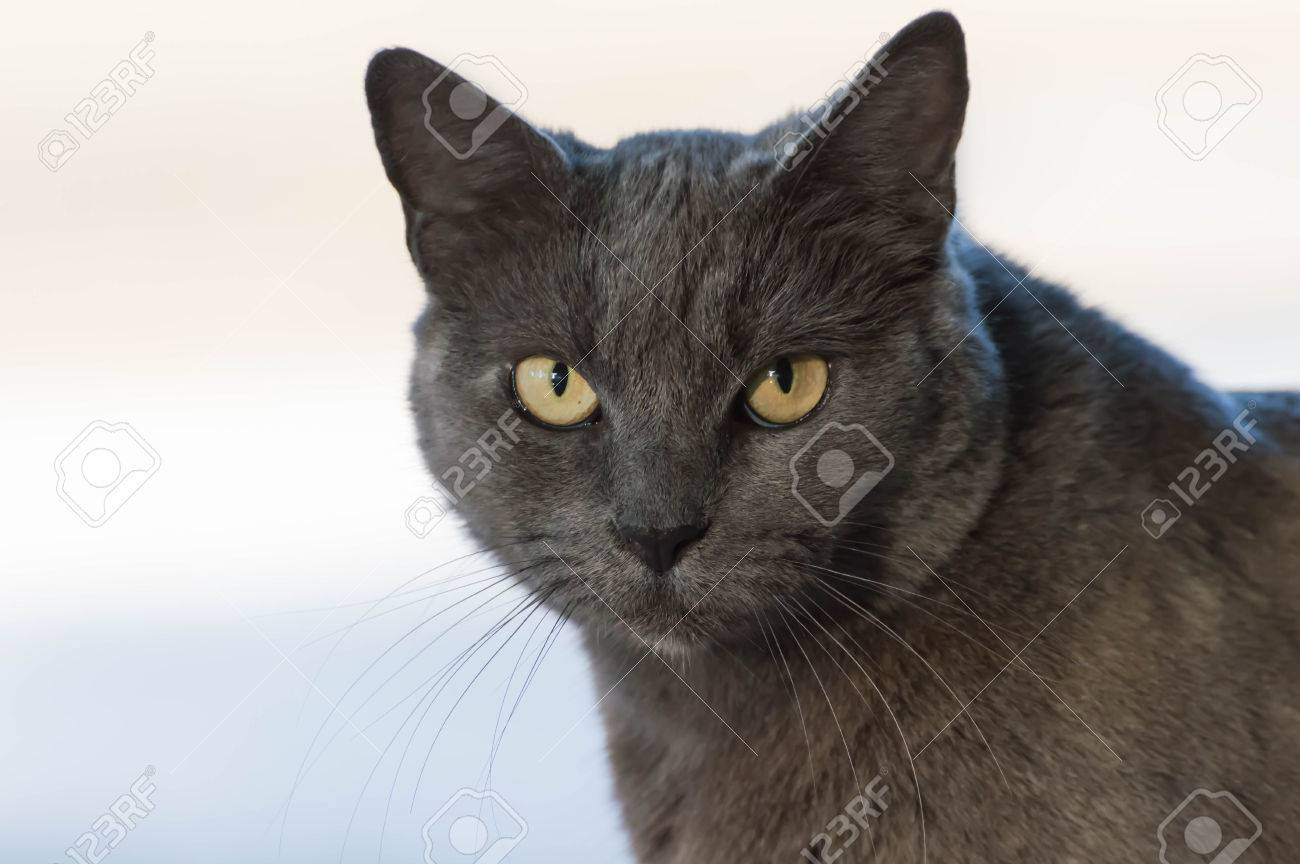 Grey Russian Blue Cat Stock Picture And Royalty Free Image