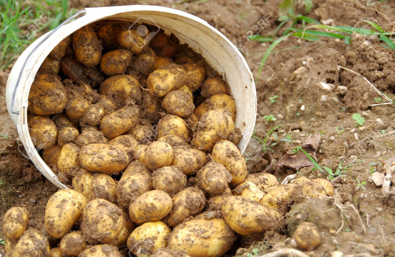 Fresh Potatoes Plowed From Soil In The Garden Stock Photo, Picture ...