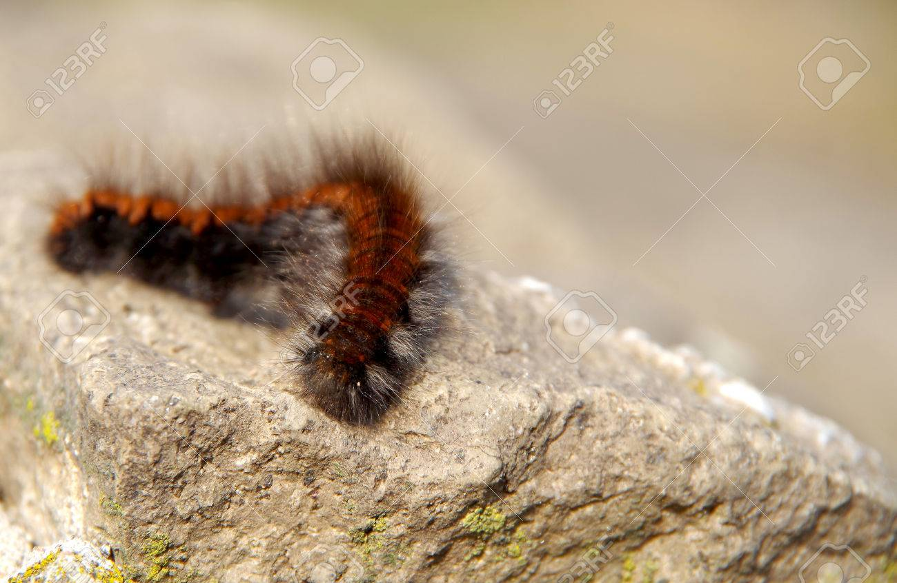 Big Brown Hairy Caterpillar Sleeping On A Rock Stock Photo Picture And Royalty Free Image Image