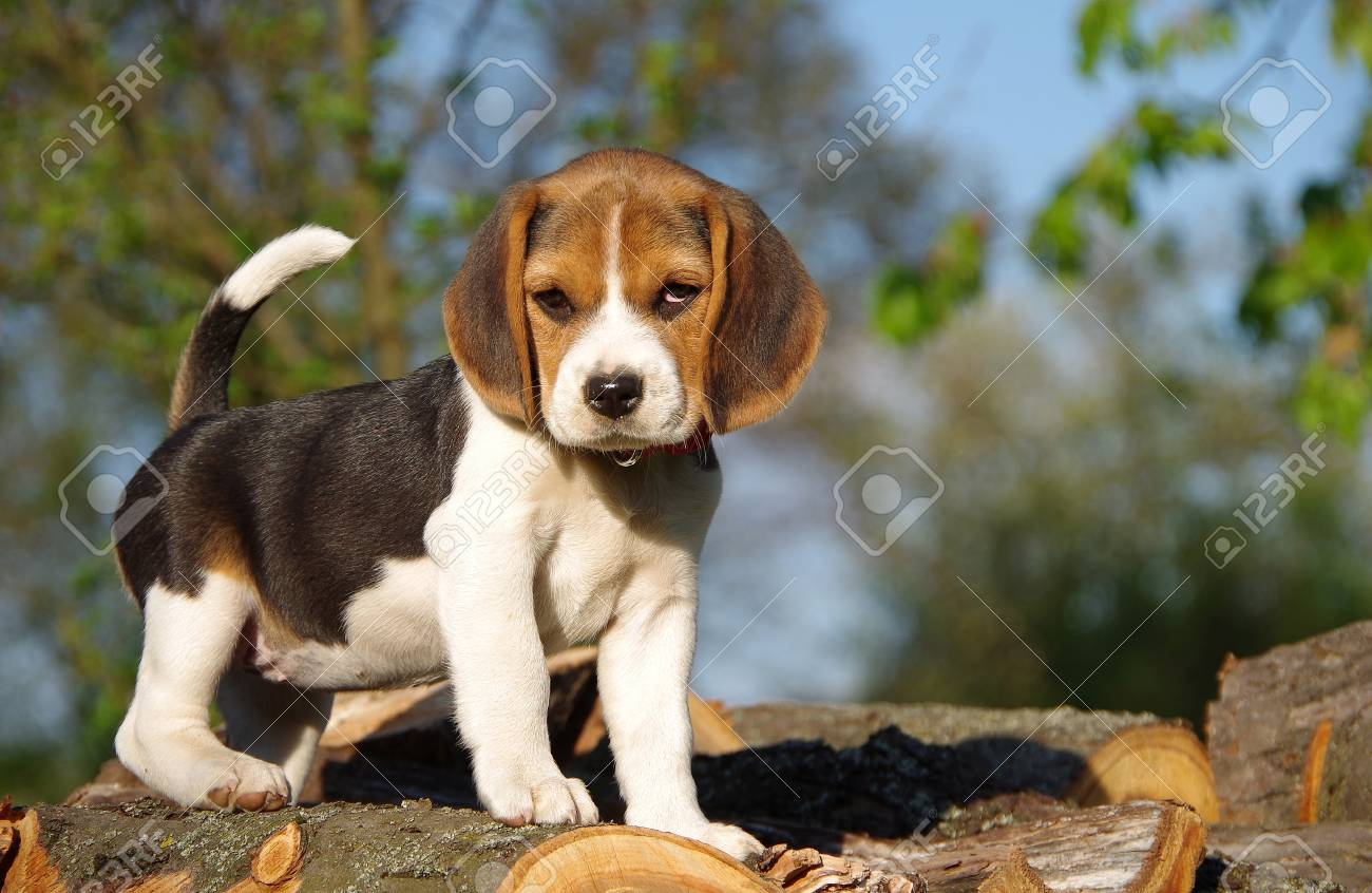 Beautiful Beagle Puppy In Nature In Spring Stock Photo Picture And Royalty Free Image Image 80694803
