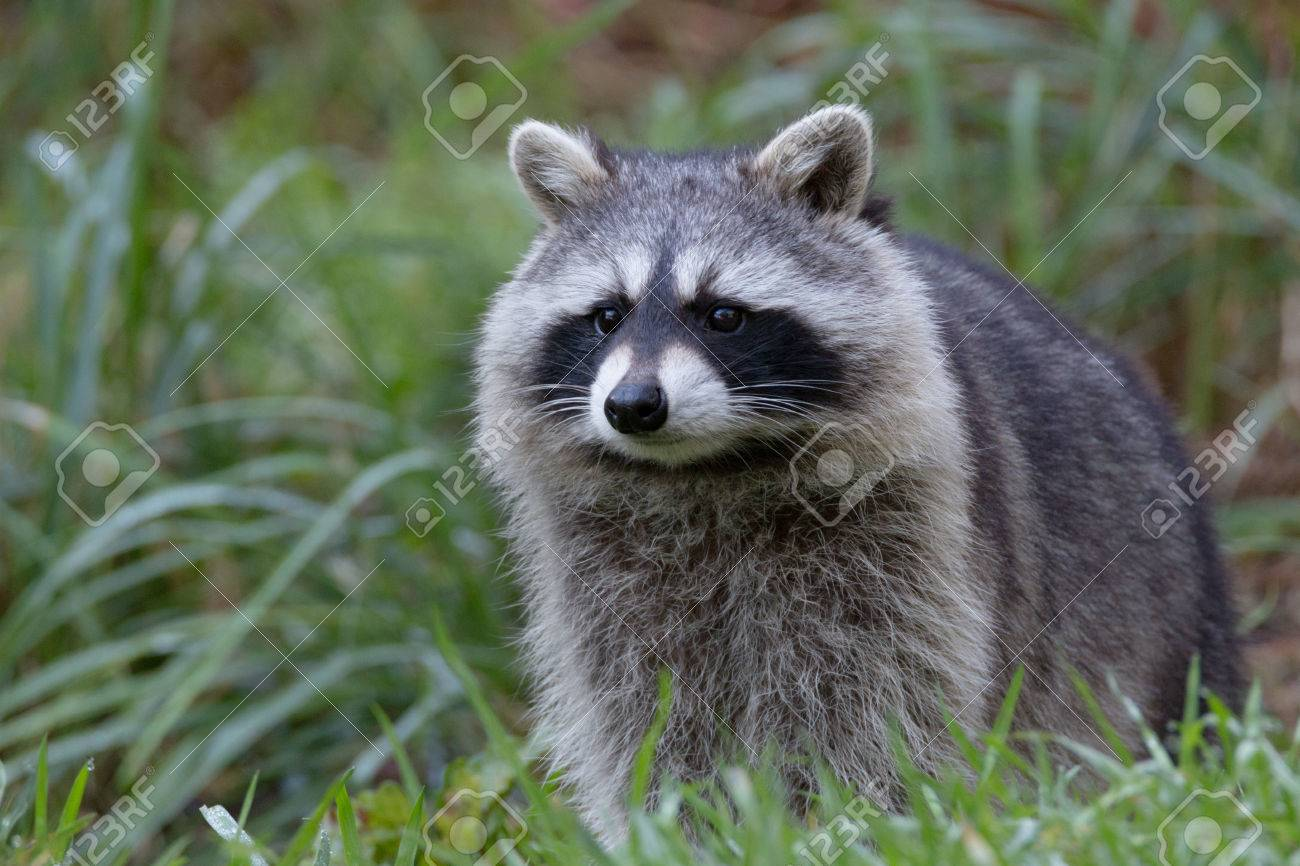 Racoon Stock Photo Picture And Royalty Free Image Image 69241278