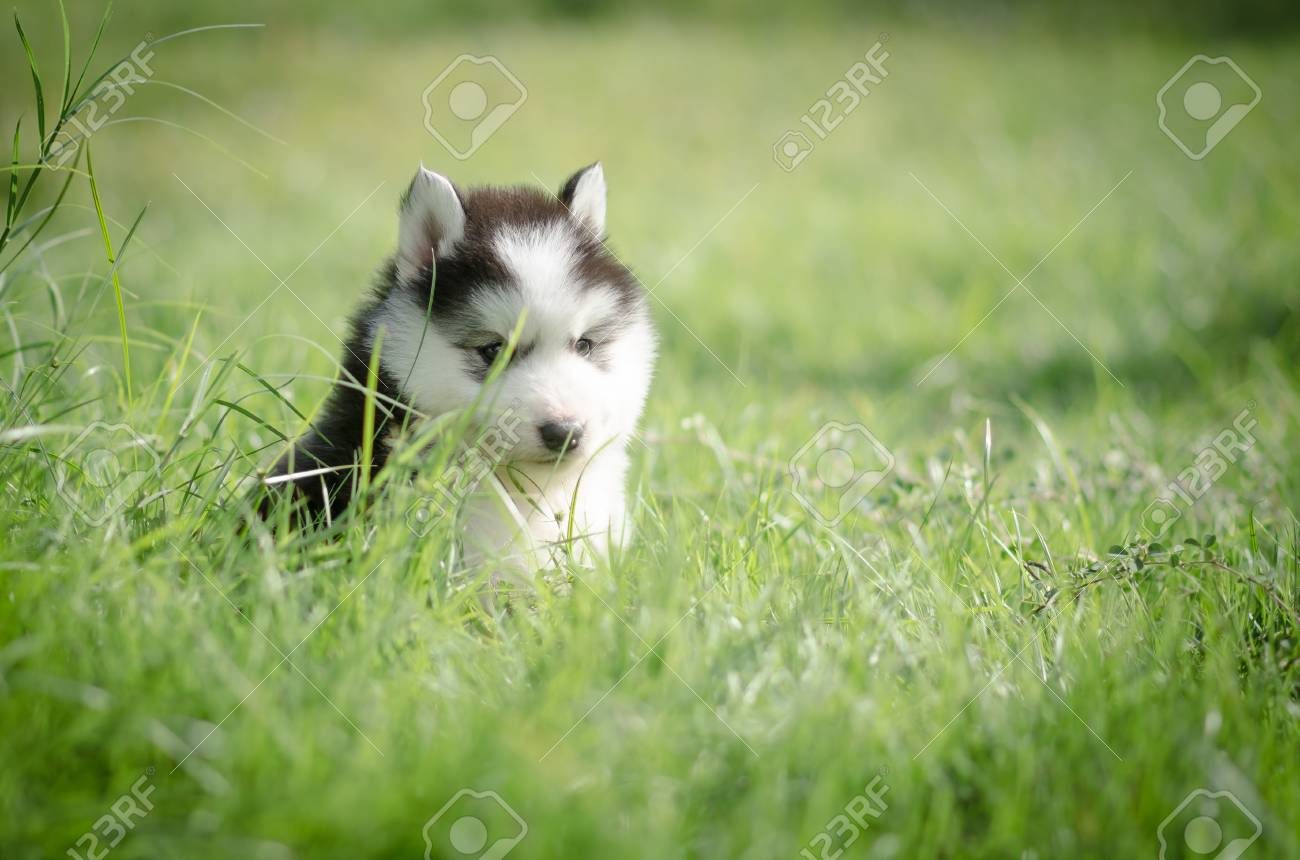 Cute Puppy Siberian Husky Howling On Grass Stock Photo Picture And