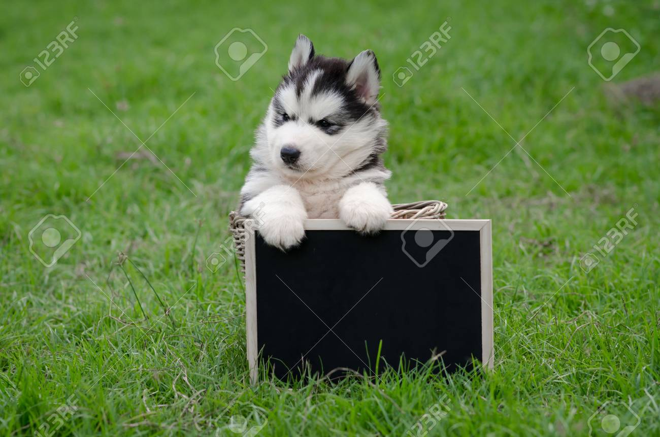 Cute Siberian Husky Puppy Holding Black Board On Green Grass Stock