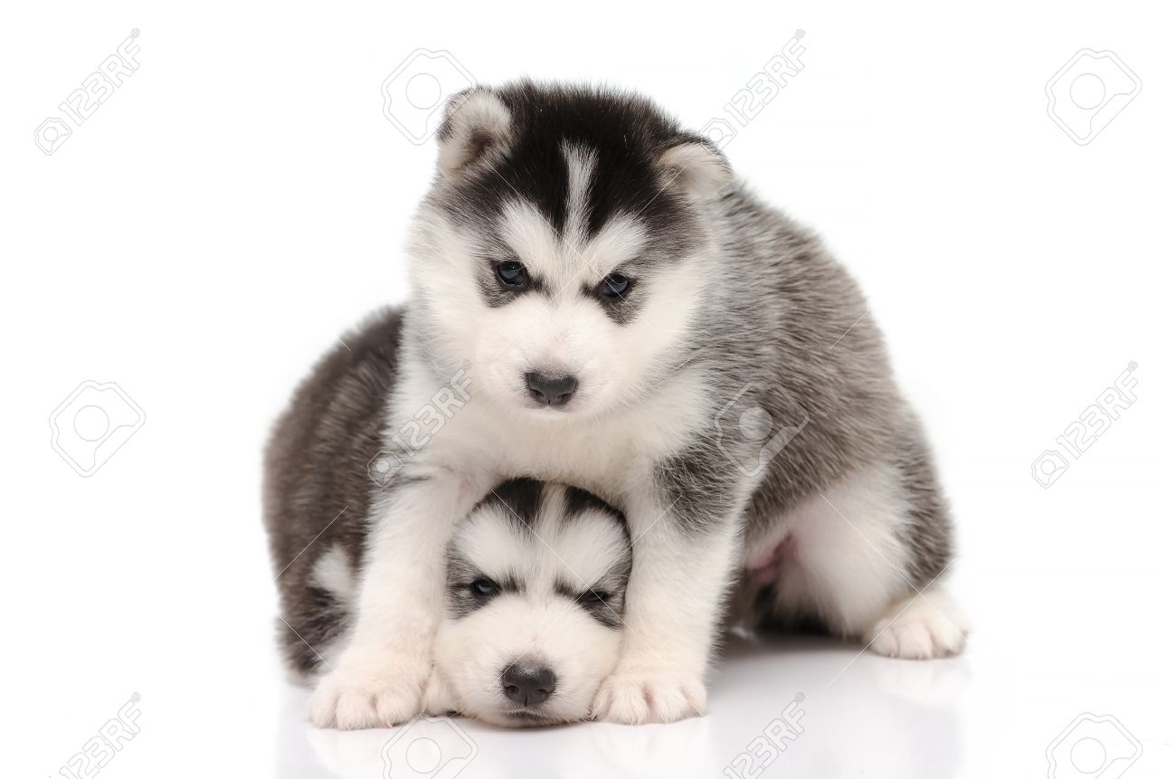 Cute Black And White Siberian Husky Puppy Sitting And Looking
