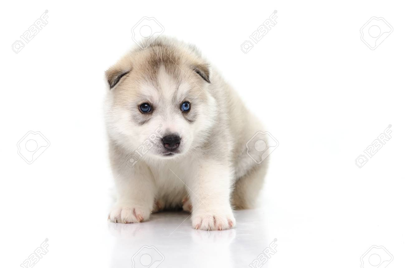 Cute Blue Eyes Siberian Husky Puppy Sitting On White Background Stock Photo Picture And Royalty Free Image Image 33692716