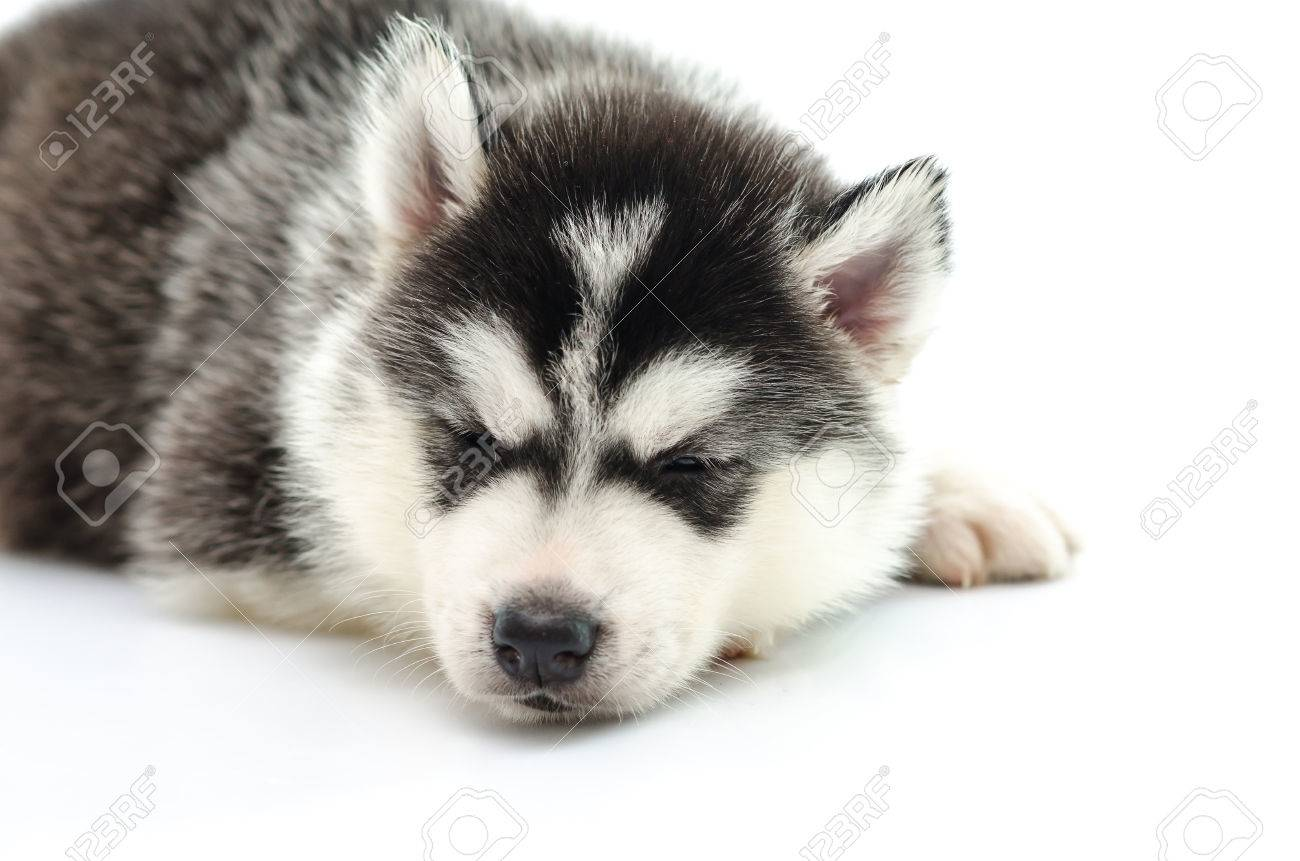 Cute Siberian Husky Puppy Sleeping On White Background Stock Photo Picture And Royalty Free Image Image 37577755