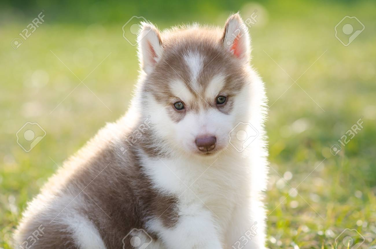 Cute Siberian Husky Puppy On Green Grass In Sunset Stock Photo