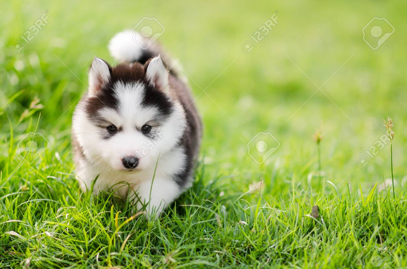 Cute Siberian Husky Puppy Walking On Green Grass With Copy Space