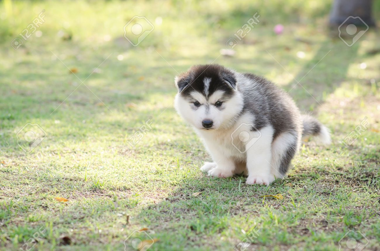 Cute Siberian Husky Puppy Pooping On Green Grass Under Sunset