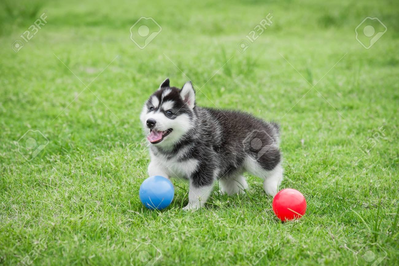 Cute Siberian Husky Puppy Playing Ball On Green Grass Stock Photo