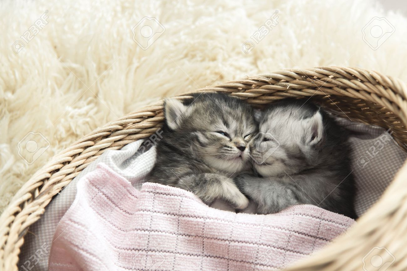 Cute Tabby Kittens Sleeping And Hugging In A Basket Stock