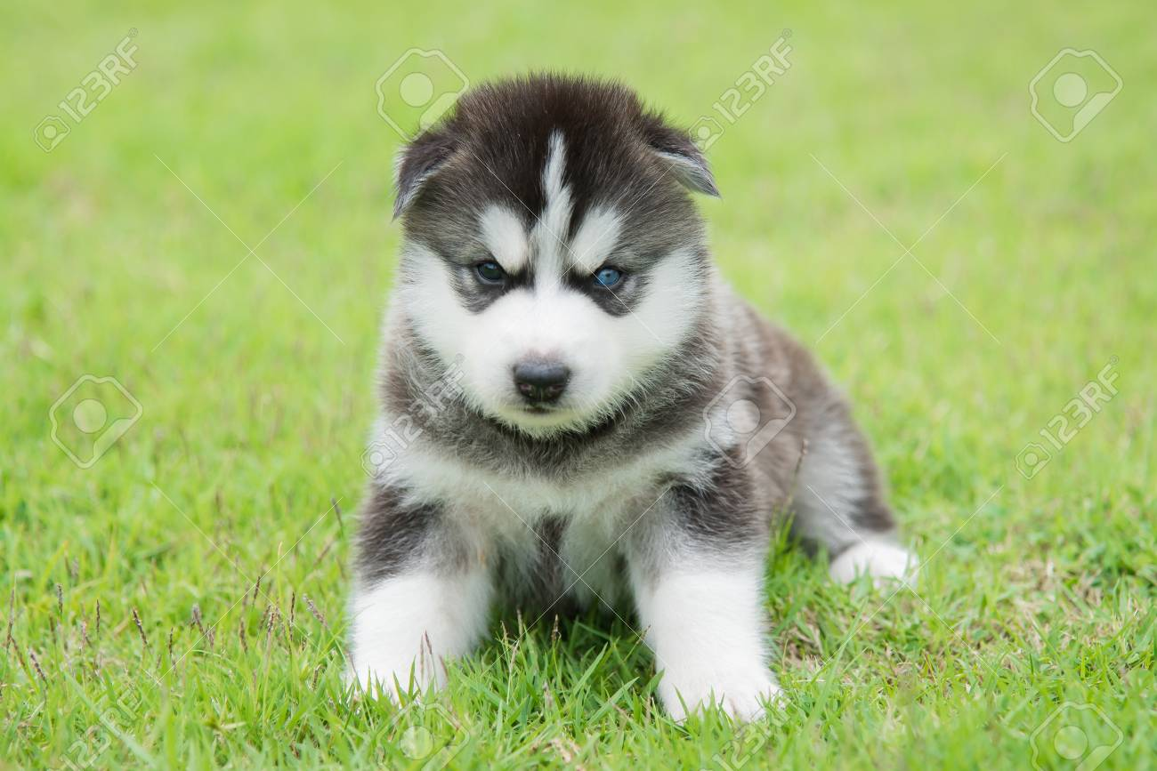 Blue Eyes Siberian Husky Puppy Lyingand Looking On Green Grass Stock Photo Picture And Royalty Free Image Image 45154060
