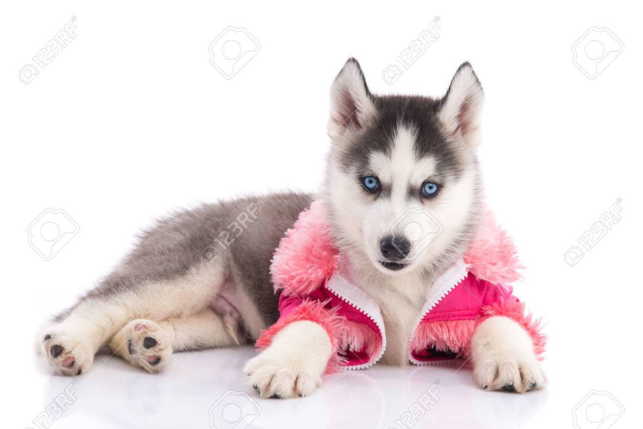 Cute Siberian Husky Puppy In Pink Clothes On A White Background